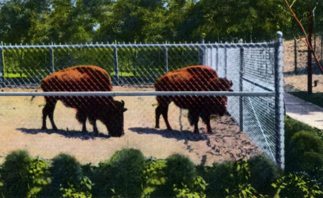 Buffalo at Zoo